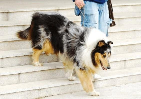 长期的给狗狗爬楼梯有什么危害